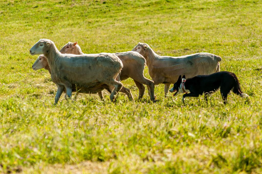 Sheepdog herding sheep