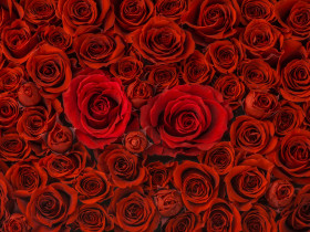 バラの花の集合