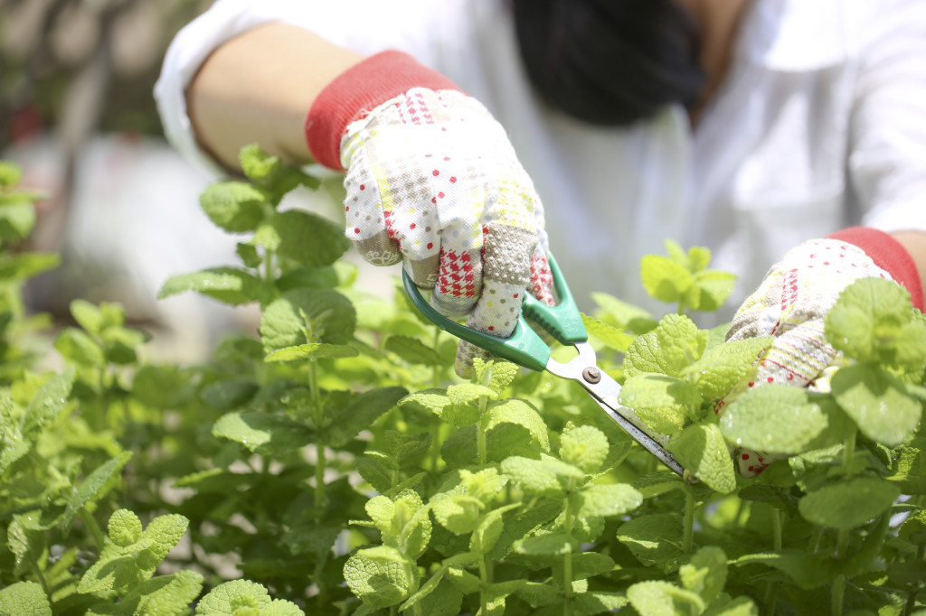 ハーブを家庭菜園で育てる
