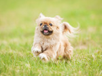Pekingese dog running in summer