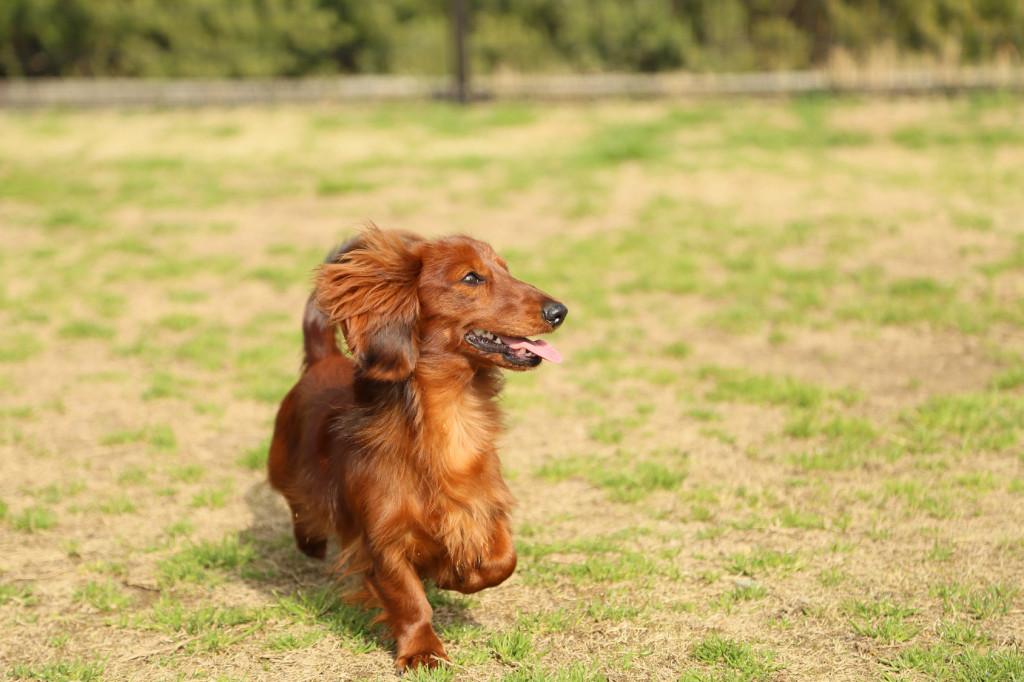 野原を駆ける犬