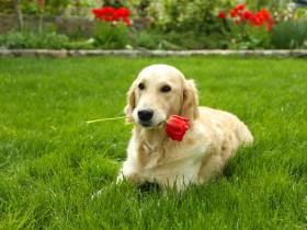 バラを咥えた犬