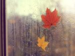 Autumn outside the window/ Two maple leaves on glass pack with traces of rain