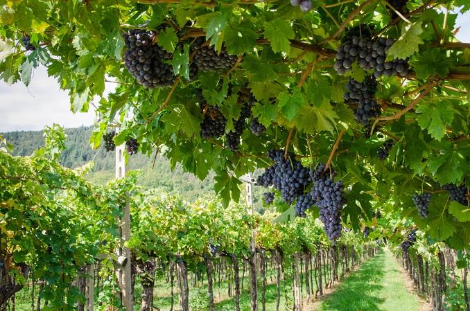 Vendemmia, grappoli di uva rossa per amarone in veneto a Verona